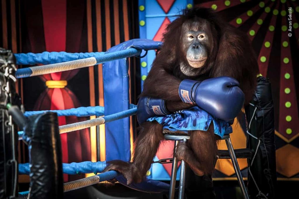 Şəkildə, orangutan ciddi görünür və üzük ipinin yanında kiçik bir skamyada oturur.