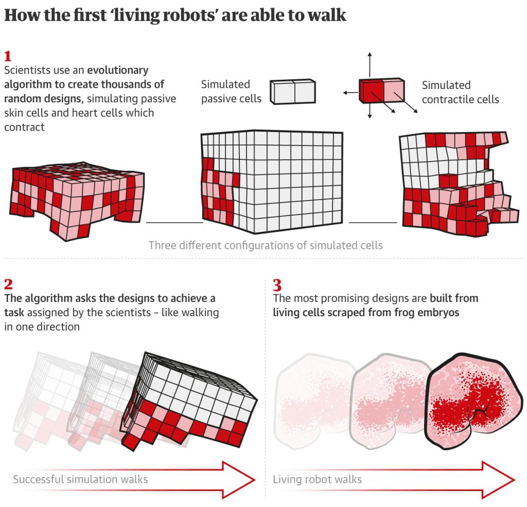 các nhà khoa học tạo ra robot sống đầu tiên từ tế bào gốc 5